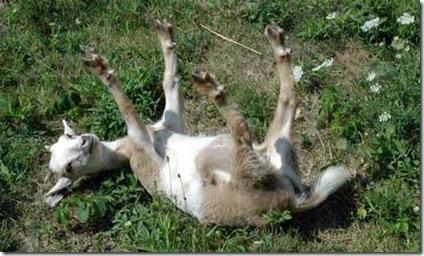 fainting goat2