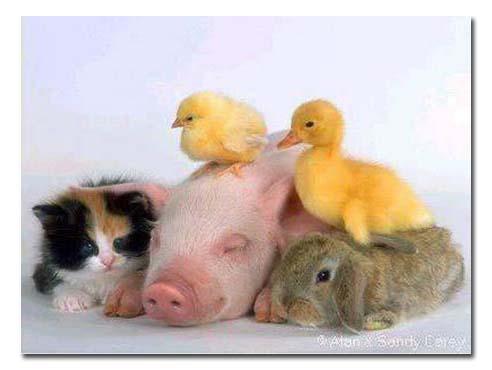 Family pig1