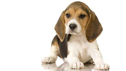 Beagle-8-picture
