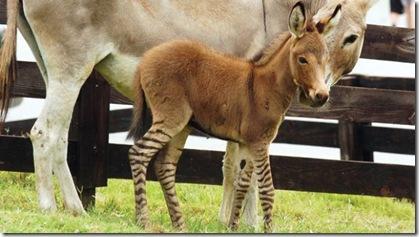 Donkey-zebra mating scandal