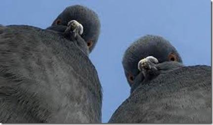angry pigeons