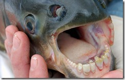15 Pacu teeth 3.jpg