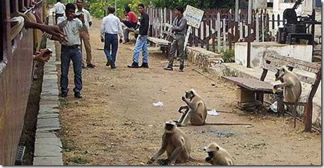 chittorgarh  thieving railway station monkeys