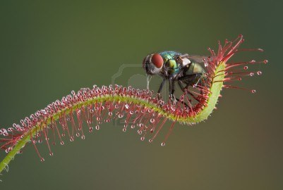 7765949-a-blow-fly-is-trapped-on-a-carnivorous-sundew-plant-and-is-being-eaten-alive